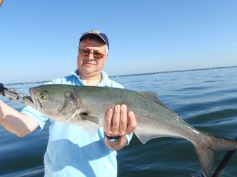A large bluefish caught on Long Island Sound in Connecticut