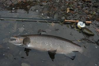 A large 30-pound Atlantic Salmon caught fly fishing the Naugatuck River in Connecticut